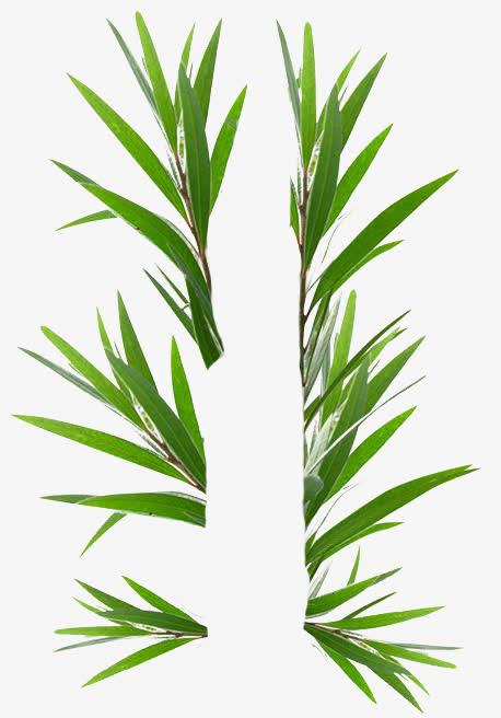 互生白叶千层叶澳洲茶树免抠素材免费下载_觅元素51.