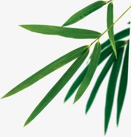 端午节竹叶叶子绿叶图片