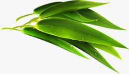 端午节芦苇粽子叶