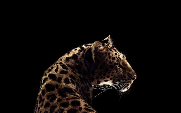 豹子转头的动物黑色背景