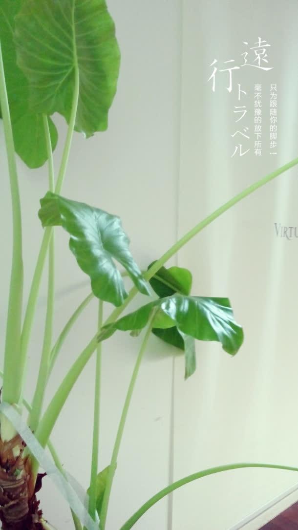 绿色宽大叶片龟背竹免抠素材免费下载_觅元素51yuansu