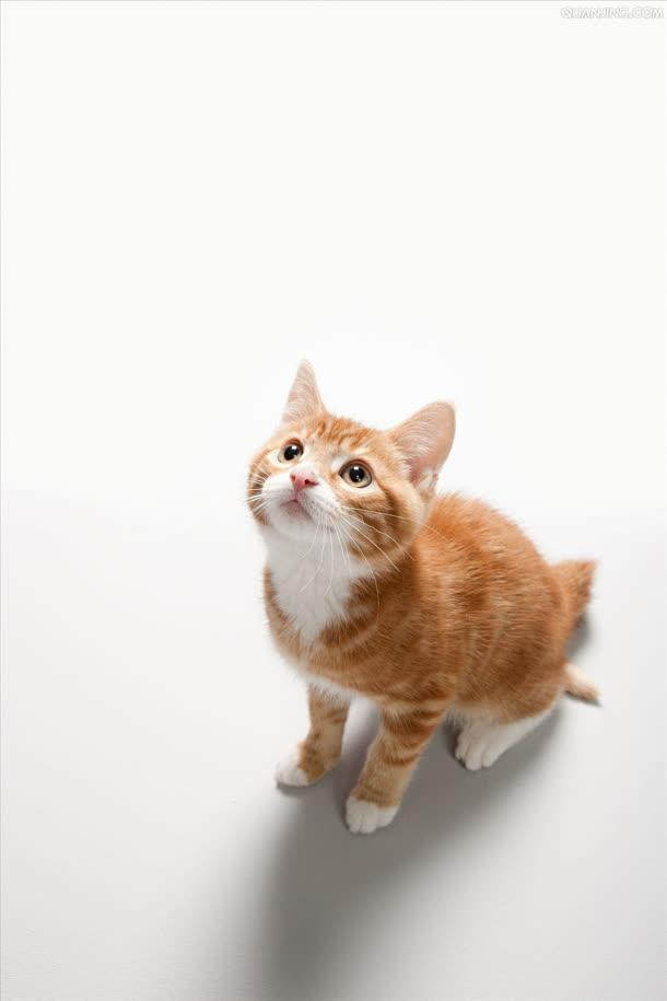 背景元素 h5背景 > 仰望的棕色可爱小猫  收藏 [声明] 觅元素所有素材